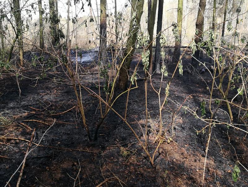 Pożar lasu w Mikorowie